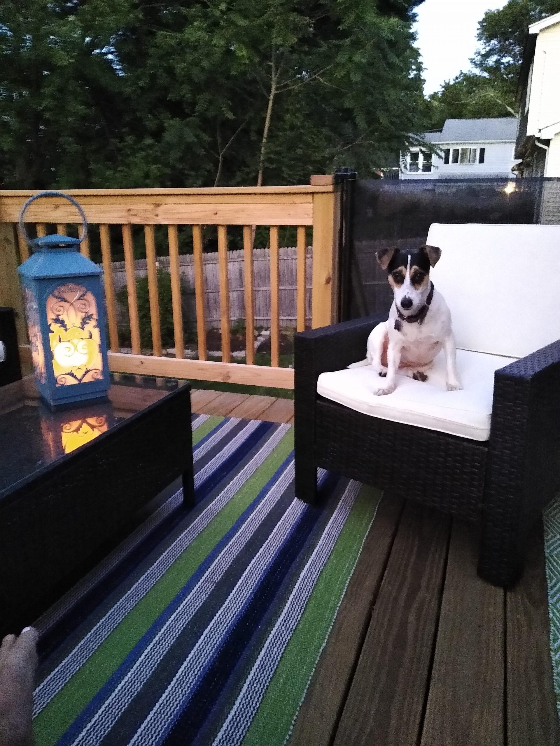 Dog on Chair   Interior Designer
